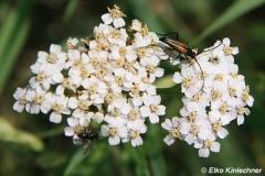 Aromia moschata / Moschuskäfer