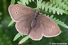 Coenonympha oedippus (Moor-Wiesenvögelchen)
