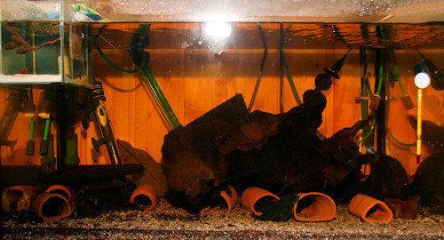 Aquarium mit Baryancistrus beggini L239