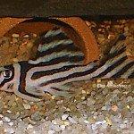 Hypancistrus zebra, Männchen