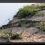 Orinoco-Krokodil