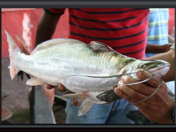 Auf dem Fischmarkt in Puerto Ayacucho