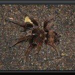 Vogelspinne bei den Piaroa