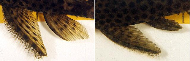 Pseudolithoxus dumus - aleta pectoral, aleta ventral