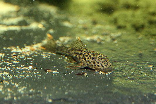 Pseudolithoxus dumus - 7 semanas