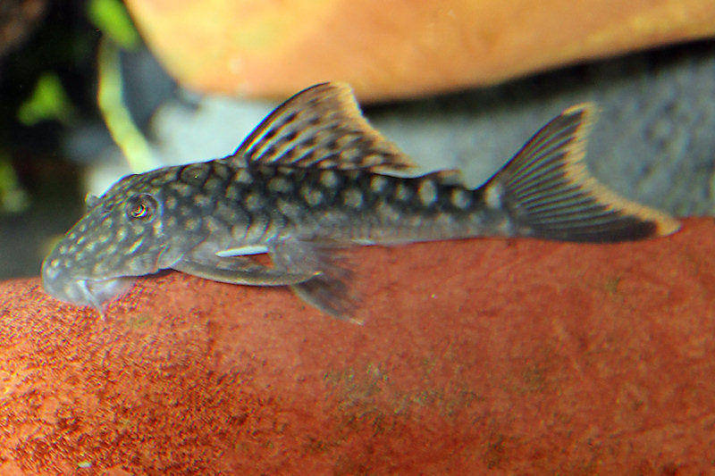 Guyanancistrus guahiborum