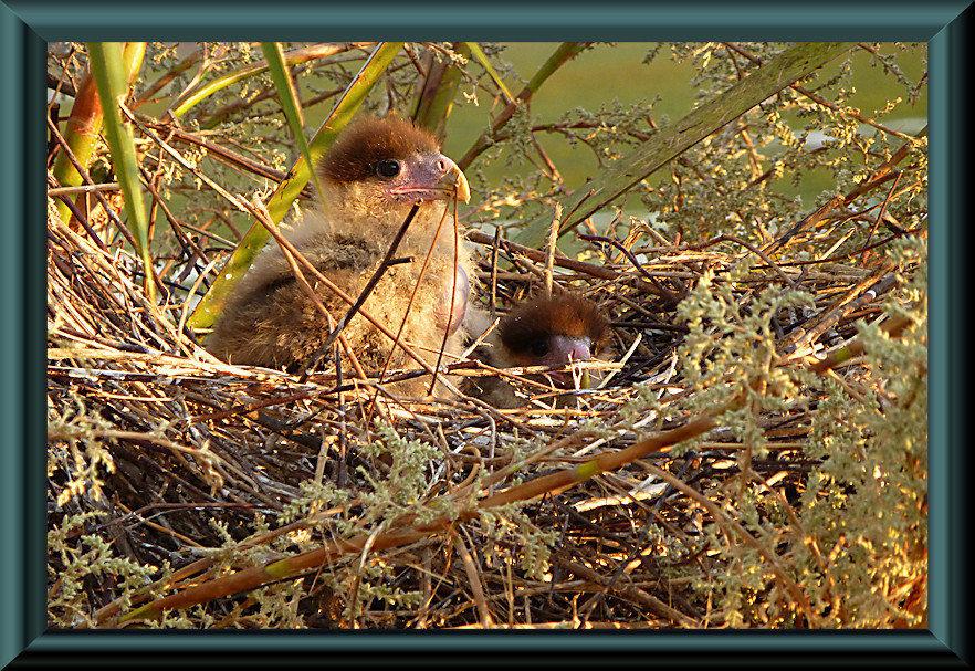 Pantanal – Piuval - Junge Schopfkarakara
