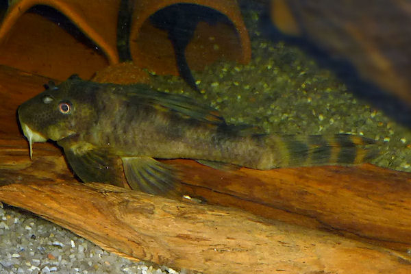 Ancistomus sp. L208