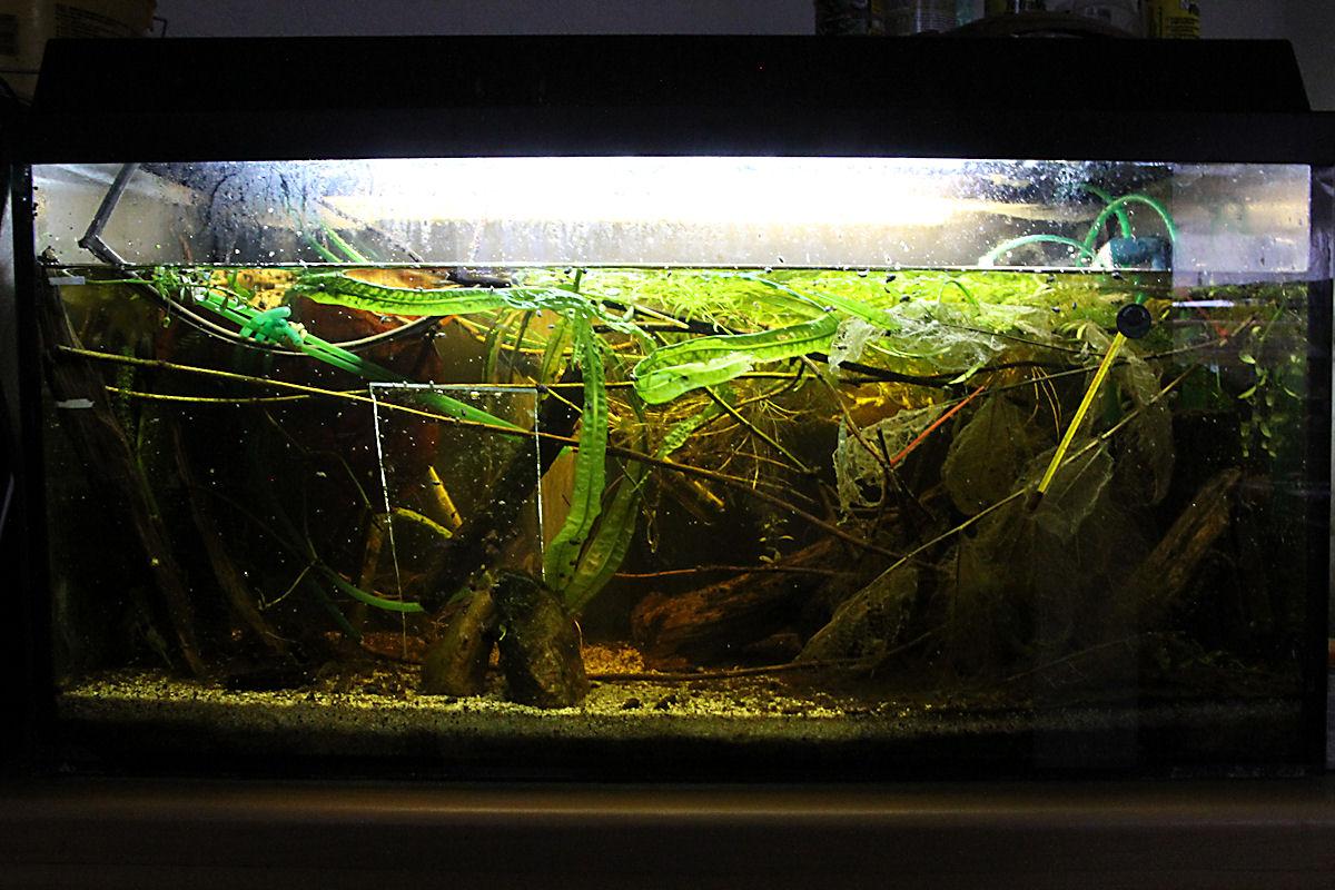 Aquarium für Acestridium dichromum