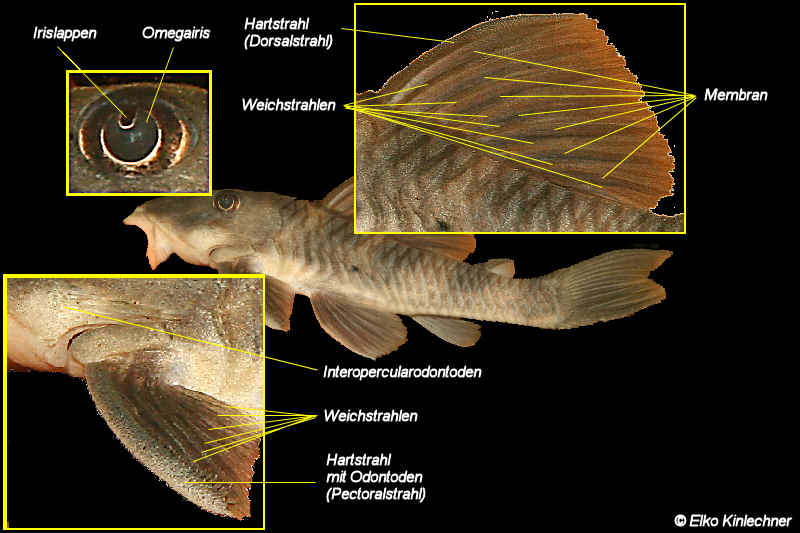 Anatomy of plecos