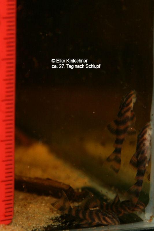 "Panaqolus sp. ""L169"" 27 Tage"