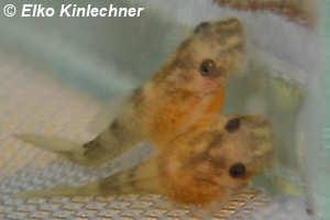 "Peckoltia sp. ""L38"", 3. Tag nach Schlupf"
