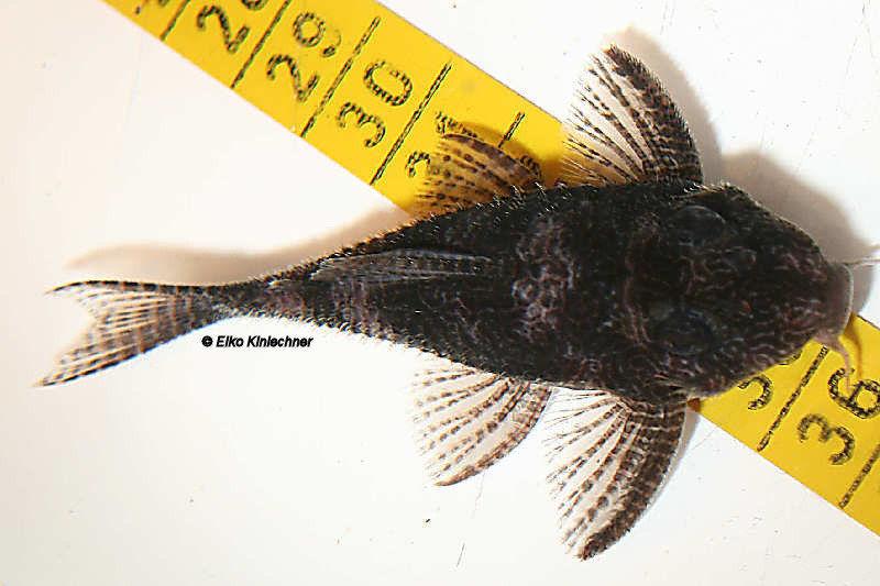 """Hypancistrus sp. """"L411"""" Männchen"""
