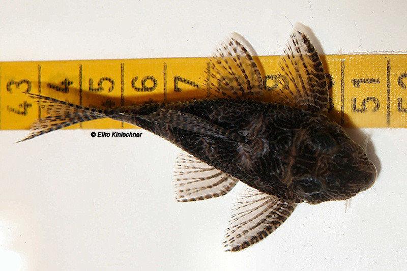 """Hypancistrus sp. """"L411"""" Weibchen"""