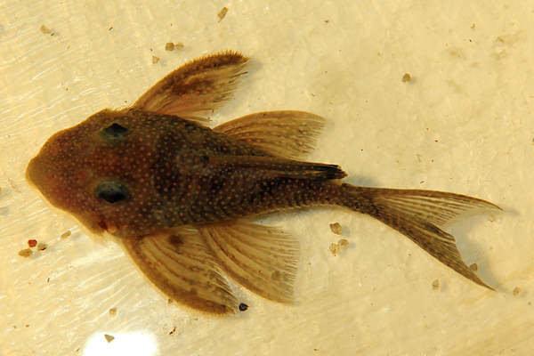 """Hypancistrus sp. """"L 136"""" con piojos de peces Argulus sp."""