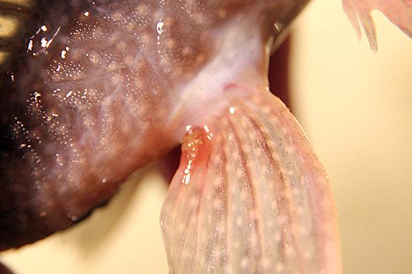 Argulus sp. principalmente en las aletas pares