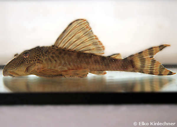 "Ancistomus sp. ""L 208"""