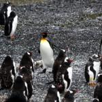 Pinguinkolonie im Beagle-Kanal