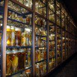 Blick auf die Sammlung von Fischpräparaten