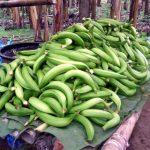 Bananenplantage bei El Carmen