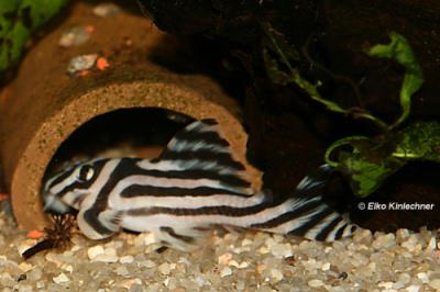 Hypancistrus zebra (L46)