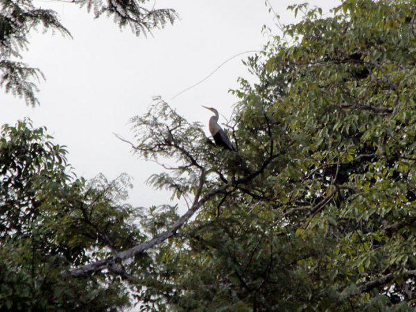 Anhinga anhinga am Lago Miuá