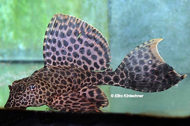 Glyptoperichthys/Pterygoplichthys gibbiceps (L 165)