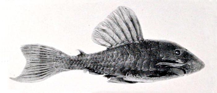 Panaque suttoni (Darstellung aus der Erstbeschreibung)