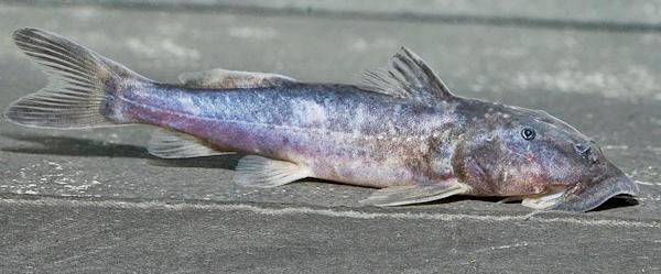 Chiloglanis sp. aus dem Kongo