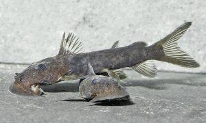 Euchilichthys sp.