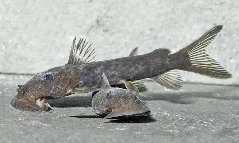 Euchilichthys-sp-768x460.jpg