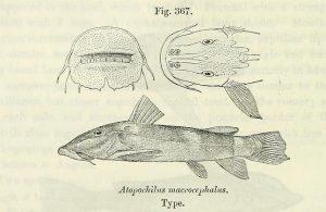 Atopochilus macrocephalus