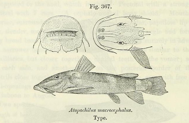 atopochilus_macrocephalus.jpg
