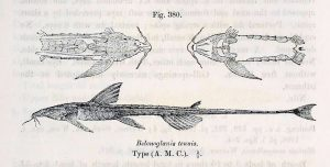 Belonoglanis tenuis